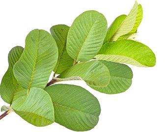 Guave Blätter